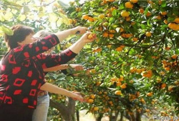 Цитрусы мандарин апельсин лимон