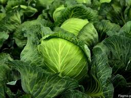 Fresh good grade cabbage for sale