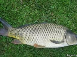 Продам живую рыбу: карп, толстолобик, щука, карась Зарыбок - photo 1