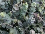 Эвкалипт (листья и эфирное масло) - фото 1