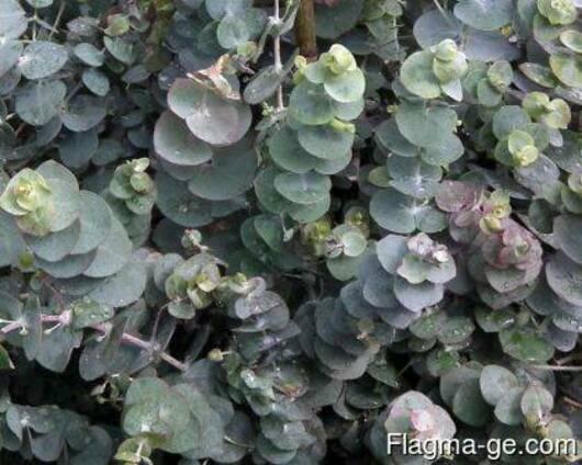 Эвкалипт (листья и эфирное масло)