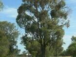Эвкалипт (листья и эфирное масло) - фото 5