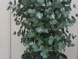 Эвкалипт (листья и эфирное масло) - фото 6