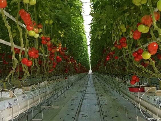 Georgian Fruts продаем томаты премиум класса на ветке