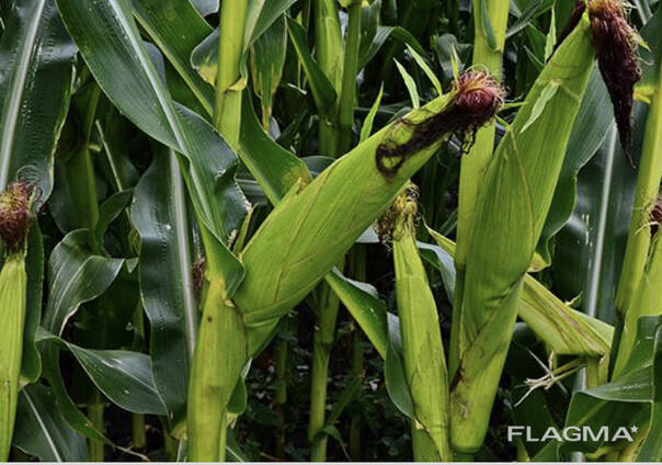 Кукуруза, Биогумус
